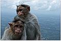 Bonnet macaque (Macaca radiata) by Dharani Prakash.jpg
