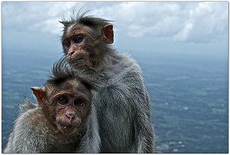 Bonnet macaque - Image: Bonnet macaque (Macaca radiata) by Dharani Prakash