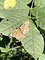 Bont zandoogje 6382.Dagvlinder Glimmen.Haren.Quintusbos.Wood.Insects.jpg