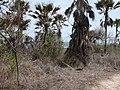 Borassus aethiopum 0062.jpg