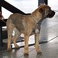 Border terrier 766 LM.jpg