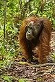 Bornean orangutan (Pongo pygmaeus), Tanjung Putting National Park 07.jpg