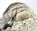Boromuscovite-Lepidolite-ch38c.jpg