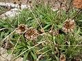 Borstgrasrasen-Schaubeet Alter botanischer Garten Marburg, Flockenblume Centaurea nigra mit Rest- Blütenkörbchen vom Vorjahr, 2019-04-06.jpg