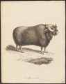 Bos moschatus - 1700-1880 - Print - Iconographia Zoologica - Special Collections University of Amsterdam - UBA01 IZ21200261.tif