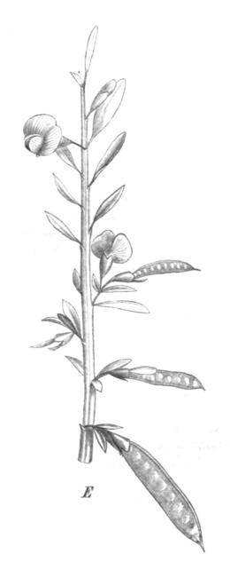 Bossiaea heterophylla Taub107c