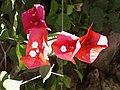 Bougainvillea spectabilis4.jpg