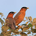 Brahminy starling (Sturnia pagodarum) pair Jojawar.jpg