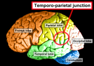 Temporoparietal junction - Side view of the human brain. TPJ is indicated by red circle.