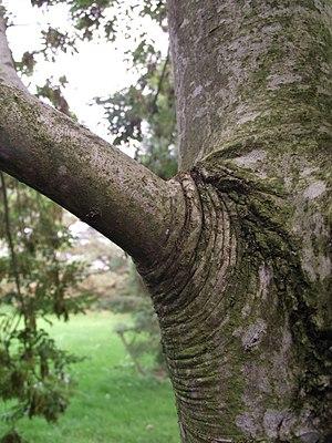 Branch attachment - Branch attachment in common ash ''Fraxinus excelsior'' L.