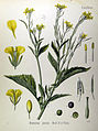 Brassica juncea (Köhler).jpg