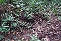 Brazil nut DSC05553.JPG