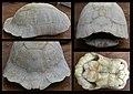 Breitrandschildkröte (Testudo marginata) - Knochenpanzer.jpg