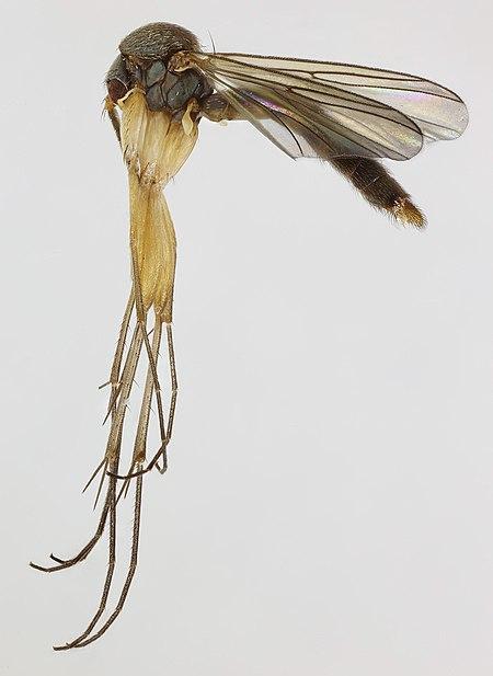 Brevicornu foliatum