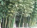 Brissago bambous.jpg