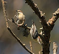 Brown-headed Nuthatch Auburn University Fisheries Unit Ponds, Alabama 2.jpg