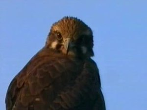 Fichier:Brown Falcon pikedale.ogv