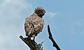Brown Snake-Eagle (Circaetus cinereus) (6001887716).jpg