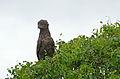 Brown Snake Eagle (Circaetus cinereus) (16669444076).jpg