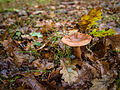 Brown toadstool (10493377834).jpg