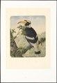 Bucerotidae - 1880 - Print - Iconographia Zoologica - Special Collections University of Amsterdam - UBA01 IZAA100029.tif