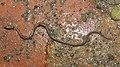 Buff-striped Keelback Amphiesma stolatum by Dr. Raju Kasambe DSCN7460 (15).jpg