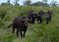 Buffalo (6593637075).jpg