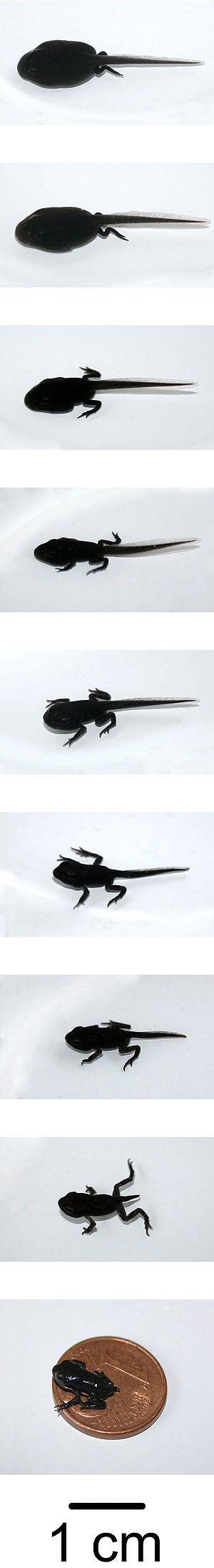 Tadpole - Metamorphosis of Bufo bufo.