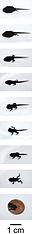 Ropucha bradavičnatá - premena žubrienky na žabku