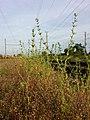 Buglossoides incrassata subsp. splitgerberi sl1.jpg