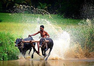 Palakkad district - Image: Bull race at chithali palakkad
