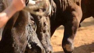 File:Bullfighting in Yamakoshi, Nagaoka 3.ogv