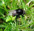 Bumblebee mimic hoverfly (Merodon equestris), Sandy Bedfordshire (7427268418).jpg
