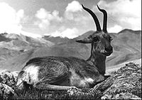 Bundesarchiv Bild 135-S-05-13-21, Tibetexpedition, Gazellenbock cro ret.jpg