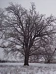 Bur Oak Winter Form.jpg