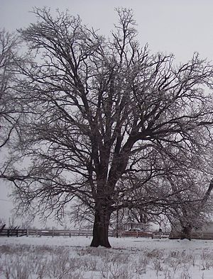Quercus macrocarpa - Winter form showing characteristic spreading branches