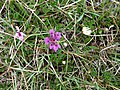 Burren Flora 25 Bee and Early Purple Orchids (3585568257).jpg