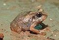 Burrowing Frog Sphaerotheca breviceps juvenile by Dr. Raju Kasambe DSCN7540 (2).jpg