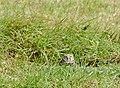 Burrowing Owls (4), NPS Photo (9101537772).jpg
