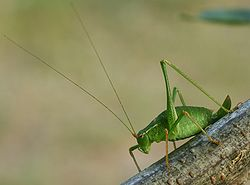 Bush-cricket 02 (MK).JPG