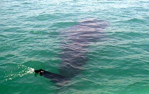 Bicol Region - Whale shark spotting in Donsol, Sorsogon