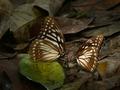 Butterfly Yellow Kaiser.tif