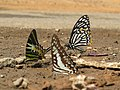 Butterfly mud-puddling at Kottiyoor Wildlife Sanctuary (15).jpg