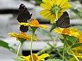 Butterflys - panoramio - Dmitrijs Purgalvis.jpg