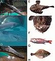 Bycatch fish species (10.3897-zookeys.843.32410) Figure 5.jpg