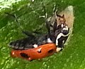 C. maculata+D. coccinellae larva (crop).jpg