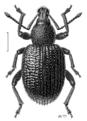COLE Curculionidae Otiorhynchus rugosostriatus.png