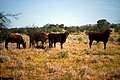 CSIRO ScienceImage 1676 Cattle in field.jpg