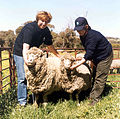 CSIRO ScienceImage 1953 Difference Between Transgenic Sheep and Normal.jpg