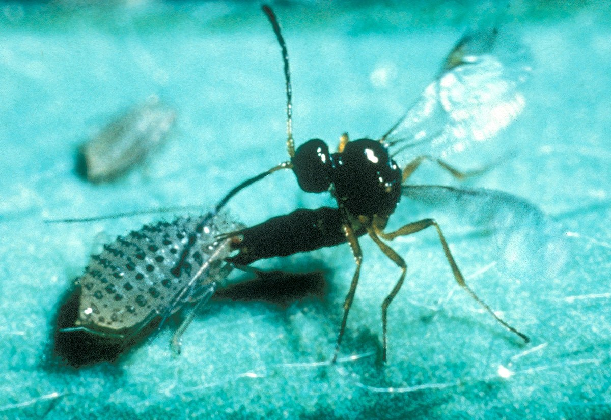 Parasitoid Wikipedia